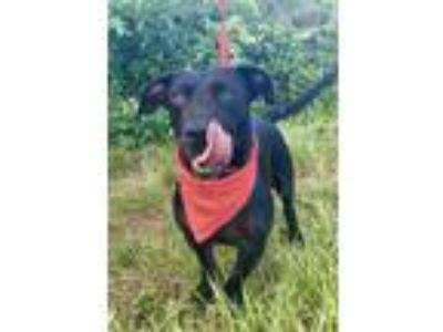 Adopt SAMMY a Basset Hound, Labrador Retriever