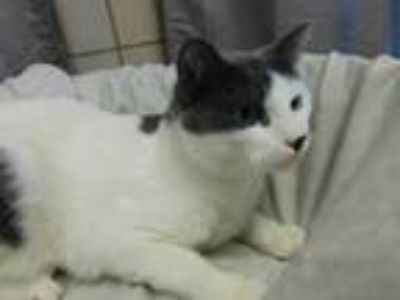 Adopt Sam a Gray or Blue Domestic Mediumhair / Domestic Shorthair / Mixed cat in