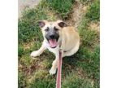 Adopt Molly a Tan/Yellow/Fawn - with Black German Shepherd Dog / Mixed dog in
