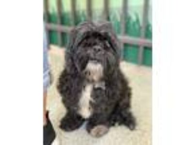 Adopt Diamond a Black - with White Shih Tzu / Cocker Spaniel / Mixed dog in