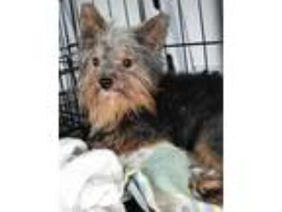 Adopt Russell a Yorkshire Terrier