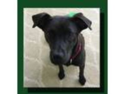 Adopt Raven Dane a Black Great Dane / Labrador Retriever / Mixed dog in