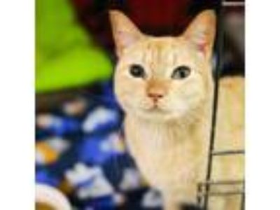 Adopt Ginger a Domestic Shorthair / Mixed cat in Austin, TX (23160109)