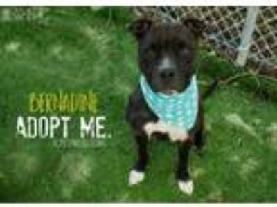 Adopt Bernadine a Black Pit Bull Terrier / Mixed dog in Kansas City