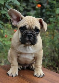 French Bulldog PUPPY FOR SALE ADN-98464 - FrenchieZ PuP
