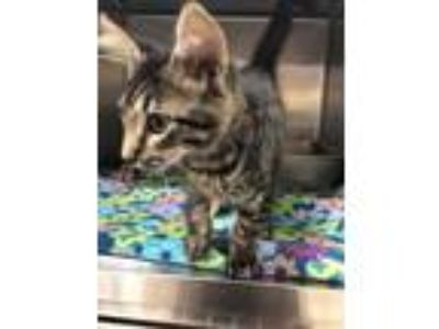 Adopt Clyde a Gray or Blue Maine Coon / Domestic Shorthair / Mixed cat in