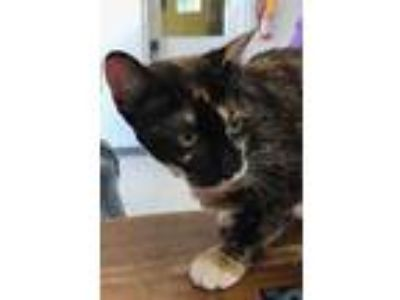 Adopt *TIPPY TOE a Brown or Chocolate (Mostly) Domestic Shorthair / Mixed (short