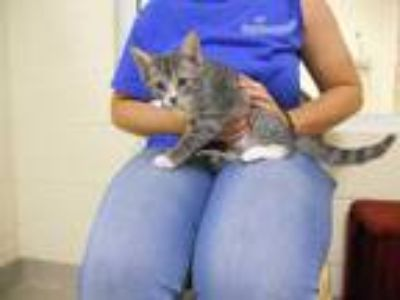 Adopt CURRY a Gray, Blue or Silver Tabby Domestic Shorthair / Mixed (short coat)