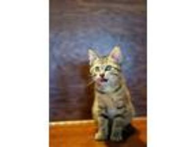 Adopt Georgia a Tan or Fawn Tabby Domestic Shorthair (short coat) cat in