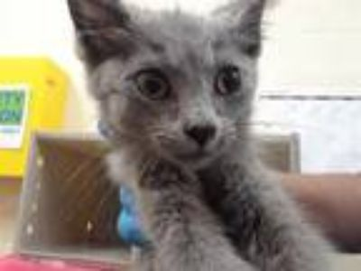 Adopt FRENCH TOAST a Gray or Blue Domestic Shorthair / Mixed (short coat) cat in