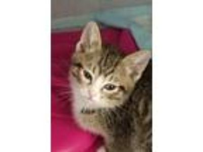 Adopt Romulus a Gray, Blue or Silver Tabby Domestic Shorthair / Mixed cat in