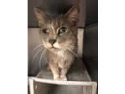 Adopt Goose a Gray or Blue Domestic Shorthair / Domestic Shorthair / Mixed cat