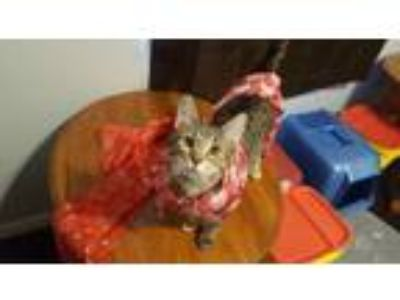 Adopt Sauce a Domestic Short Hair