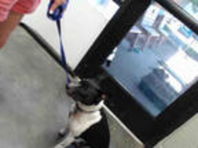 Adopt JAX a Black - with White Rat Terrier / Mixed dog in Tulsa, OK (25848935)