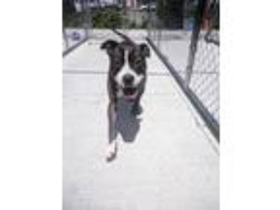 Adopt Sienna a Brown/Chocolate - with White Pit Bull Terrier / Mixed Breed