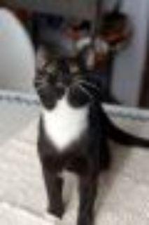 Mitten American Shorthair Cat