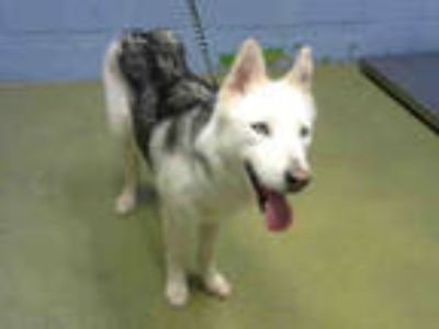 Adopt a White - with Black Husky / Mixed dog in Moreno Valley, CA (25600458)
