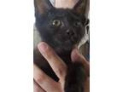 Adopt HOUDINI a All Black Domestic Shorthair / Mixed (short coat) cat in Temple