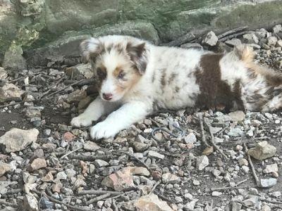 Australian Shepherd PUPPY FOR SALE ADN-94392 - Australian Shepard Puppies for sale