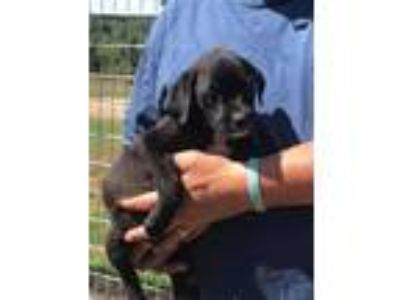 Adopt Cleo a Black - with White Labrador Retriever / Mixed dog in Pikeville