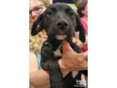 Adopt Tonio a Labrador Retriever