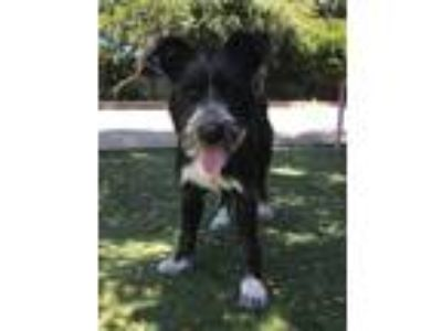 Adopt Maddison a Black - with White Labrador Retriever / Terrier (Unknown Type