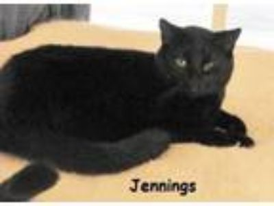Adopt Jennings a Domestic Short Hair