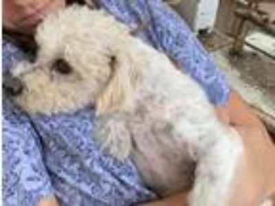 Adopt Cooper a Yorkshire Terrier, Miniature Poodle