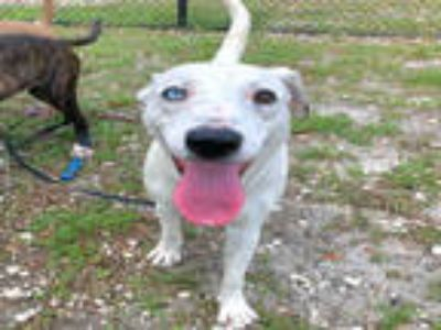 Adopt MARSHMELLOW a White Terrier (Unknown Type, Medium) / American Pit Bull