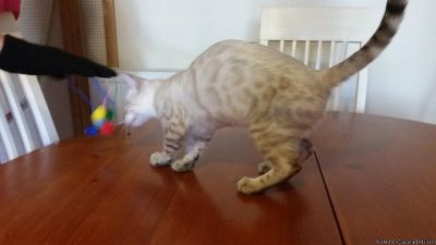 Bengal Kittens for Sale. Best Price!