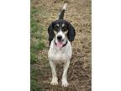 Adopt CGC Ned a White - with Black Coonhound / Basset Hound / Mixed dog in