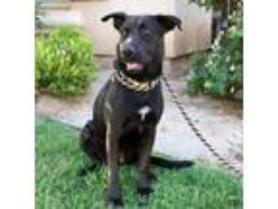 Adopt Wednesday a Labrador Retriever, Shepherd