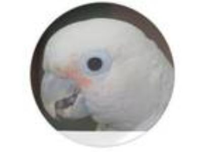 Adopt Pierre a Cockatoo