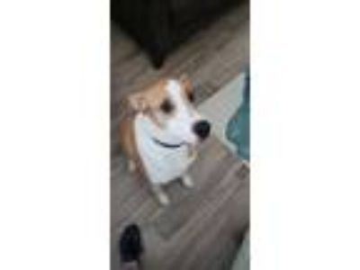 Adopt Nelson a White - with Tan, Yellow or Fawn Hound (Unknown Type) dog in