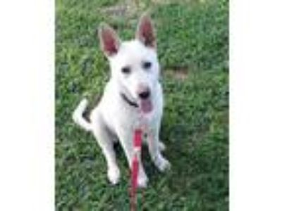 Adopt Barry a German Shepherd Dog