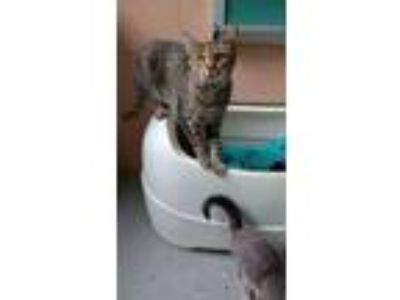 Adopt Sally Ann a Domestic Shorthair / Mixed (short coat) cat in Bardstown