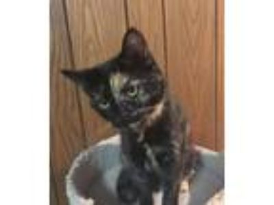 Adopt Camellia a Domestic Short Hair