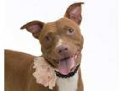 Adopt GUCCI a Brown/Chocolate - with White American Pit Bull Terrier / Mixed dog
