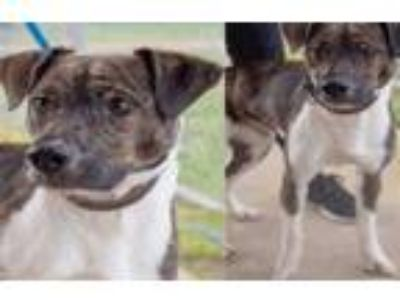 Adopt Winger*Texas 5/25* a Jack Russell Terrier, Catahoula Leopard Dog