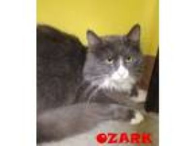 Adopt OZARK a Domestic Medium Hair