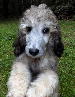 Poodle (Standard) PUPPY FOR SALE ADN-63309 - Silver Sable Poodle Puppy AKC