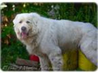 Adopt Dax a Great Pyrenees