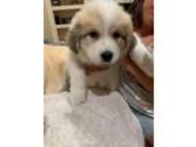 Adopt Victoria a Great Pyrenees