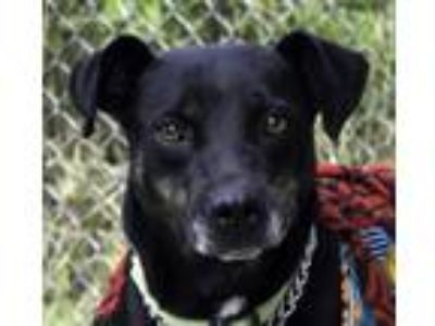 Adopt Katrina from Mexico a Black Shepherd (Unknown Type) / Labrador Retriever /
