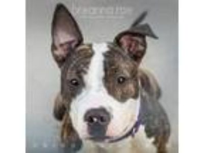 Adopt Punky - Foster Needed a Pit Bull Terrier / Mixed dog in Sheboygan