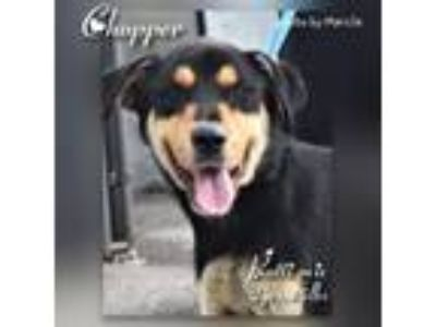 Adopt Chopper a Shepherd