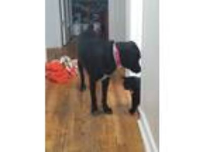 Adopt Fiona a Black - with White Labrador Retriever / Border Collie / Mixed dog