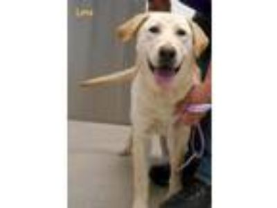 Adopt Lena a Yellow Labrador Retriever