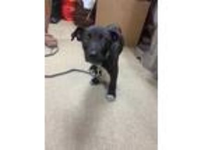 Adopt Adopted a Black Labrador Retriever / Mixed dog in Fort Worth