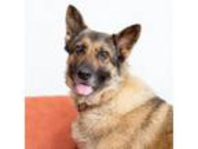 Adopt Tootsie Roll a German Shepherd Dog